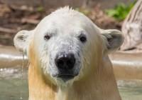 """850-Pound Polar Bear """"Kali"""" Transported Via Fedex To Saint Louis Zoo"""